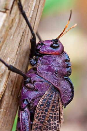 rainforest animal: closeup of the head of a purple grasshopper