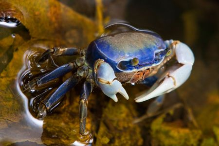 Blue crab walking in the shallow water photo