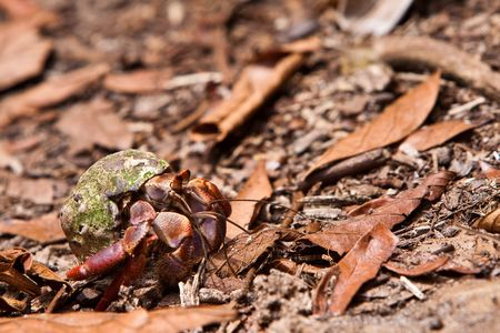 Hermit lobster in his shell walking on the ground photo