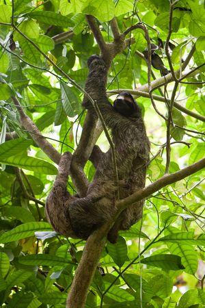faultier: Dreifinger - Faultiere mit Youngster h�ngen in einem Baum