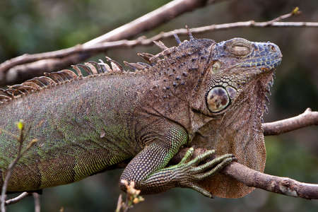 Brown lizard sleeping on a branch in a tree photo