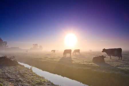 Cows in a grassland at an early winter morning