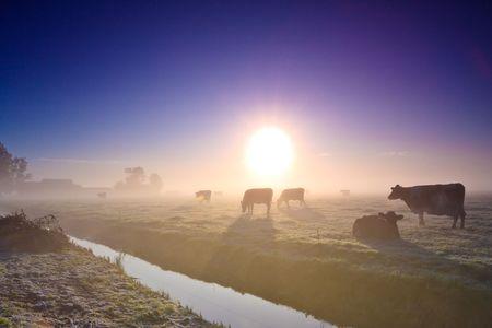 ganado: Vacas en una pradera en una ma�ana de invierno temprano