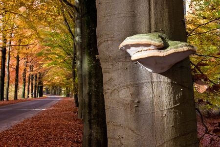 tinder fungus mushroom on a tree trunk in autumn photo