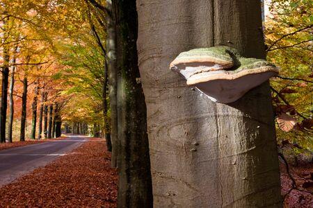 tinder fungus mushroom on a tree trunk in autumn photo