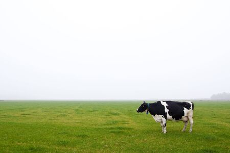 A single cow standing in a misty grassland Stock Photo