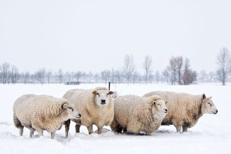 snowing: sheep in a cold white winter landscape