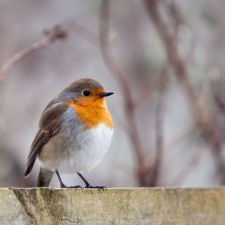 A red robin bird sitting on a fence in the garden Stock Photo