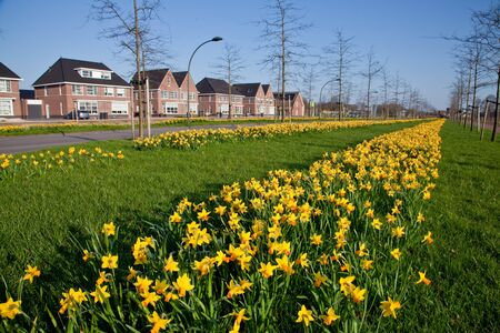 grass verge: Row of narcissus flowers in the verge of a road in spring