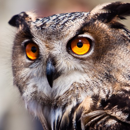 owl eye: Big eagle owl bird head in closeup Stock Photo