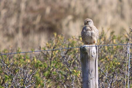 Juvenile kestral bird sitting on a fence pole Stock Photo - 7254578