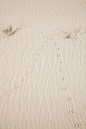 vogelspuren: Spuren eines Vogels in den Sand der Dünen