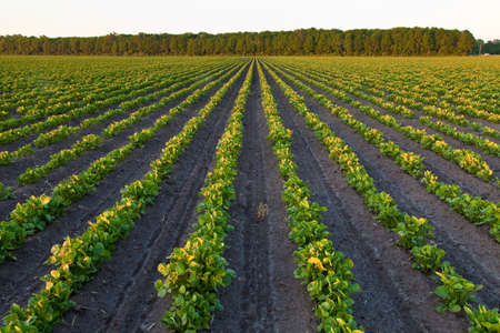 Countryside with potato field and trees at sunset Stock Photo - 7489782