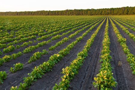 Countryside with potato field and trees at sunset Stock Photo - 7489783