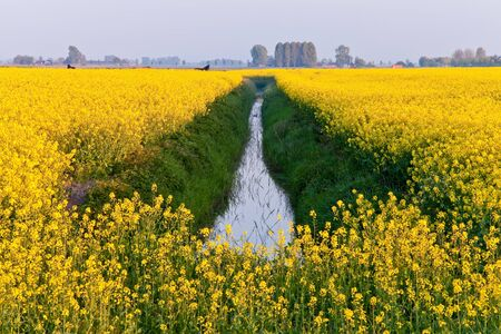 Field with yellow rapeseed flowers in spring photo