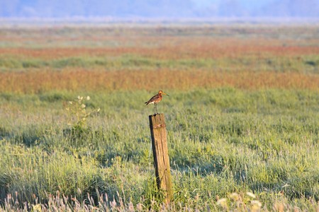 Witgot bird standing on a pole in a farmland in the morning Stock Photo - 7845793