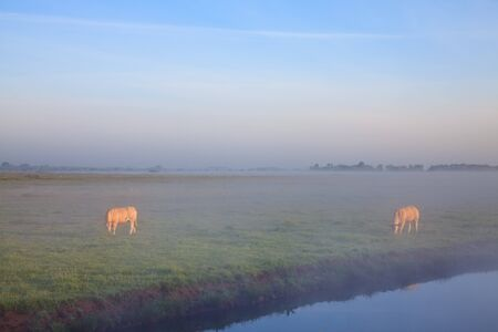 Sunrise with morning dew and cows in farmland Stock Photo - 7845735