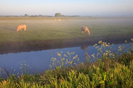 Sunrise with morning dew and cows in farmland Stock Photo - 7845795