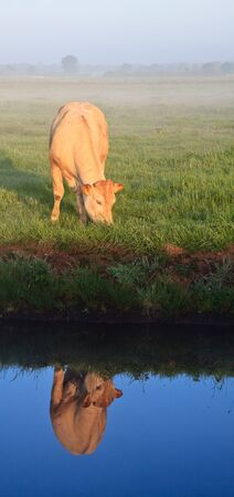 Sunrise with morning dew and cow with reflextion in water in farmland Stock Photo - 7845745