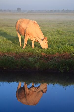 Sunrise with morning dew and cow with reflextion in water in farmland Stock Photo - 7845787