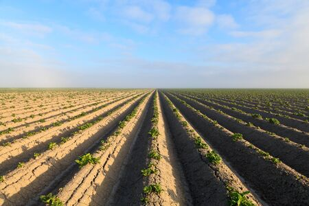Cultivated potato field with morning sun photo