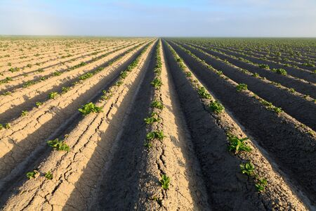 Cultivated potato field with morning sun 写真素材