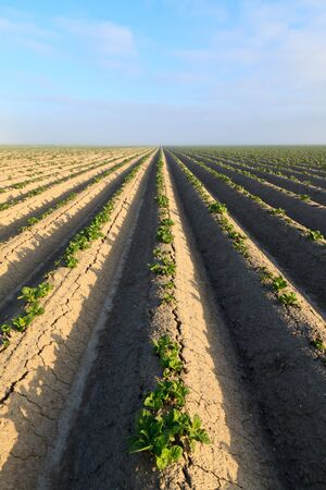Cultivated potato field with morning sun Stock Photo - 7845797