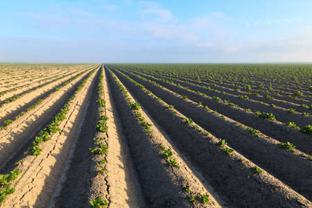 Cultivated potato field with morning sun Stock Photo - 7845807