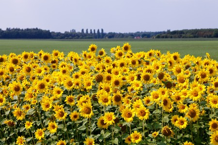 Sun flowers in the countryside in tuscany italy