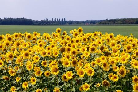 Zonne bloemen op het platteland in Toscane Italië