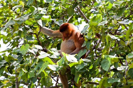 Long nosed probiscus monkey sitting in a tree photo