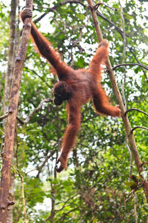 Young female orang utan hanging in a tree photo