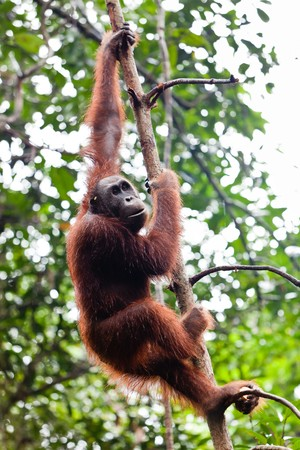 Young female orang utan hanging in a tree