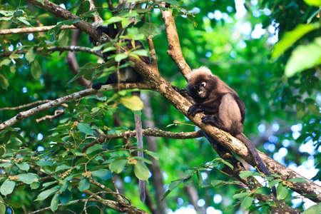 couple of dusky leaf monkeys sitting in a tree photo
