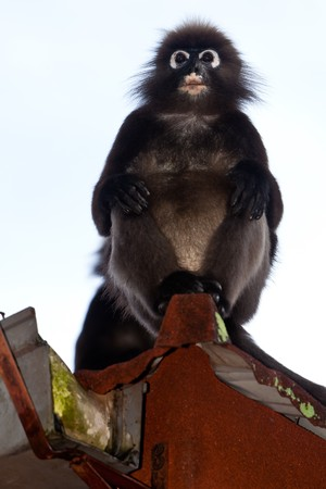Adorable dusky leaf monkey sitting  in a roof gutter photo