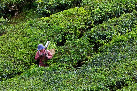 Tea plantation in the Cameron Highlands in Malaysia Stock Photo - 8586939