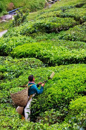 Tea plantation in the Cameron Highlands in Malaysia Stock Photo