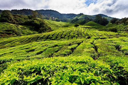 Tea plantation in the Cameron Highlands in Malaysia photo