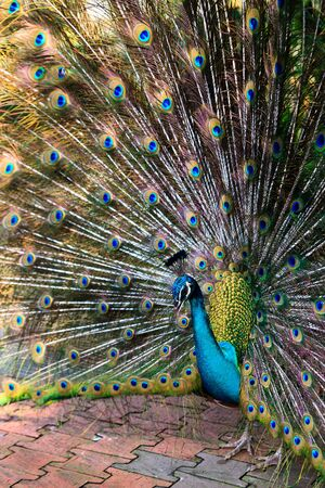 strut: Indian peacock bird proudly showing his feathers in the zoo Stock Photo
