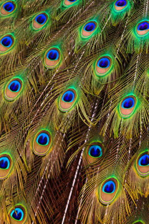 Beautiful peacock bird tail feathers in close up photo