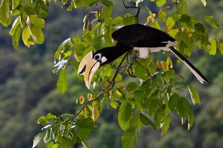 Palawan hornbill bird in close up in tree photo