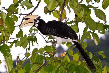 Palawan hornbill bird in close up in tree