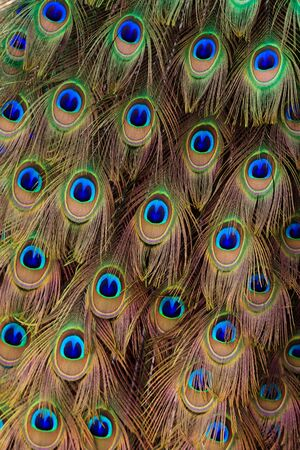 Beautiful peacock bird tail feathers in close up