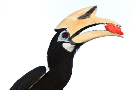 Palawan hornbill bird in close up isolated on white photo
