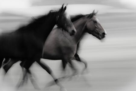 domestic horses: At high speed running horse in a farmland