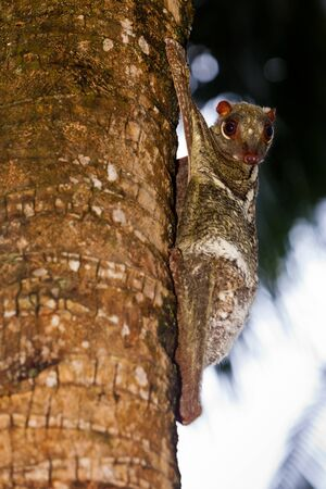 Flying lemur hanging on the trunk of a tree