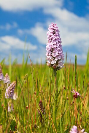 grass verge: Wild orchis flower with blue sky  in spring