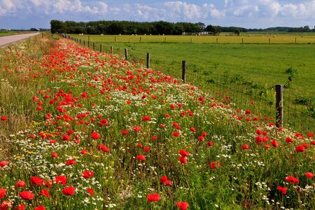 grass verge: Wild poppy flowers in the verge of a road in spring Stock Photo