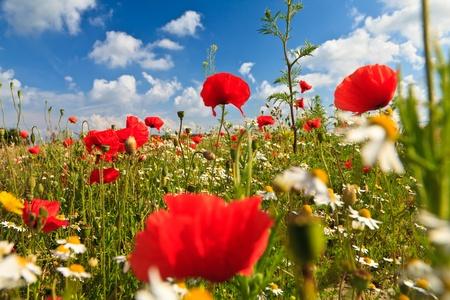 Wild poppy flowers field with blue sky  in spring photo