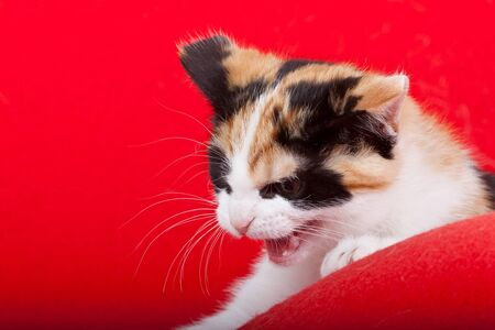 agressive: Agressive young cat isolated on red background Stock Photo